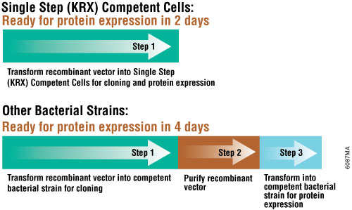 In only two days, you can transform your vector into the Single Step (KRX) Competent Cells and express protein.