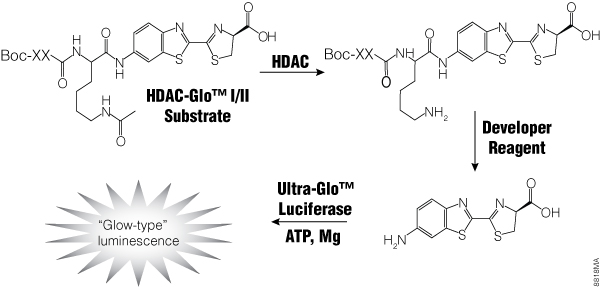 HDAC-Glo I/II Assay chemistry.